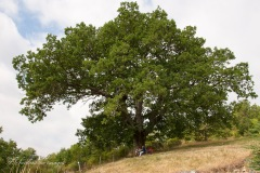 quercia secolare a Montalto vecchio