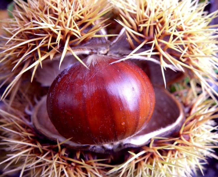 castanea_sativa_-_sweet_chestnut
